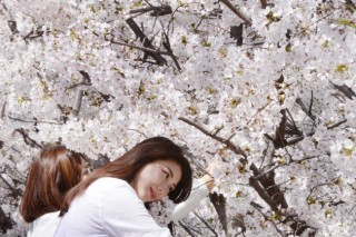 [Eye Plus] 'Pink clouds' of blooming cherry blossoms