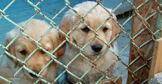 puppy-mill-stock-image-article-image-1200-630