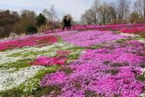 [포토뉴스] 진분홍 카펫, 주연이 된 꽃잔디