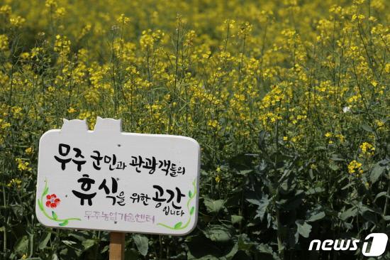 [포토]무주 남대천에 활짝 핀 유채꽃