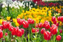 [양희관의 아름다운 세상] 튤립 가득한 데스칸소 가든(Descanso Gardens)